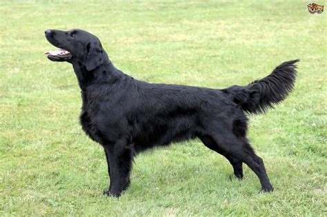 flat coated retriever shedding flat coated retriever breed information buying advice