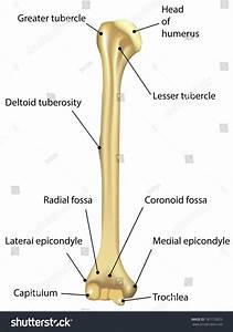 Humerus Labeled Diagram Stock Illustration 181112825