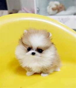 cute teacup pomeranian puppy pictures | Zoe Fans Blog ...