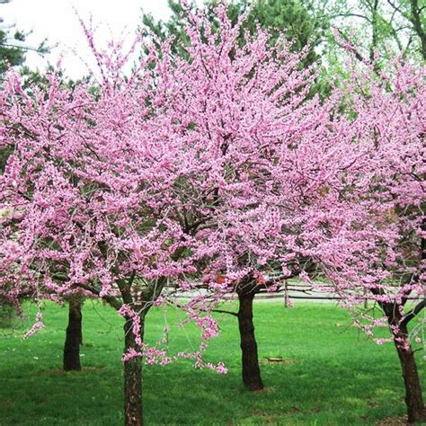 early blooming trees gardens sun and early spring on pinterest