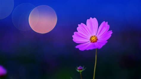 Nature, Flowers, Macro, Cosmos (flower) Wallpapers Hd