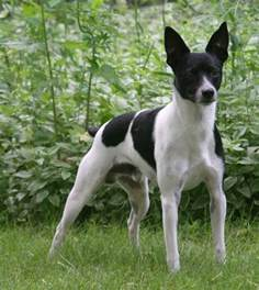 american rat terrier dogs pinterest