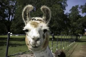 Smiling Llama by elephant-cake on DeviantArt