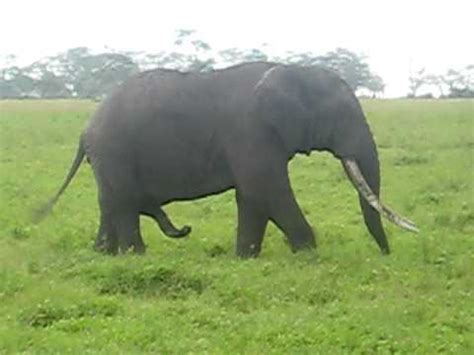 elephant scratches stomach   trunk youtube