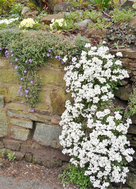 pflanzen für steinmauer naturstein trockenmauer bepflanzen geignete pflanzen f 252 r mauerfugen romkert trockenmauer