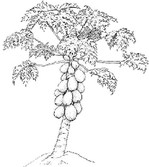 gambar pohon pepaya untuk diwarnai anak