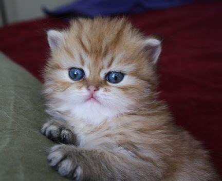 miniture cats miniatures teacup cats
