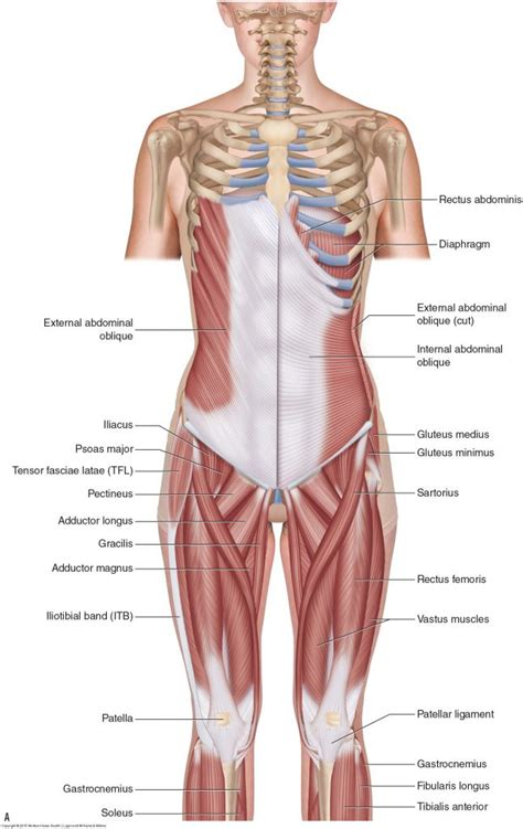 Deep Muscles Of The Back Muscles Of The Low Back Learn Muscles