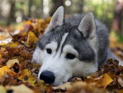 Husky Dog Wallpapers Background Face Siberian Puppy
