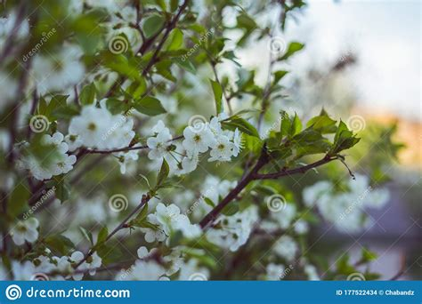 White Is Beautiful Cherry Blossom On The Branch Stock
