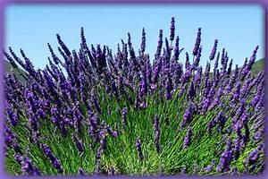 Lavendel Pflanzen Kaufen : lavendel winterhart dunkelblauer lavendel hidcote blue ~ Lizthompson.info Haus und Dekorationen