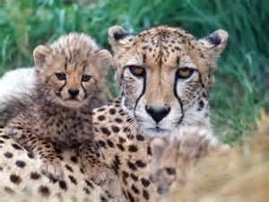 Cute Baby Cheetah Family