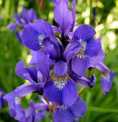 iris flowers iris flower