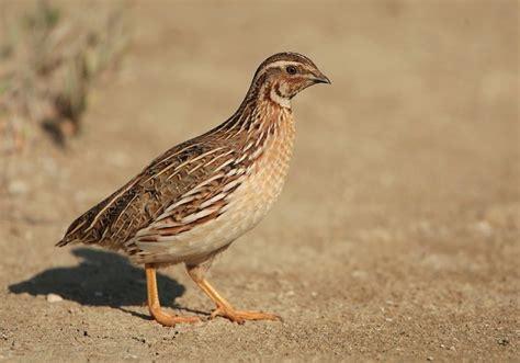 keep your quail birds mnangagwa the chronicle