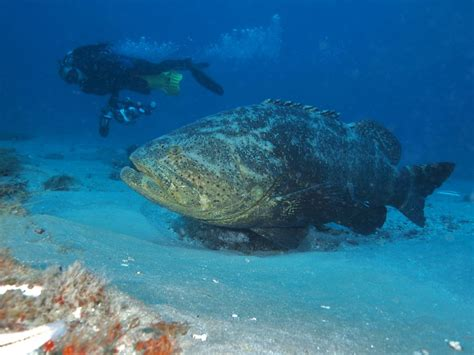 grouper goliath florida fish usa alabama lose protection waters texas catch prohibited possession mississippi harvest federal both state today padi
