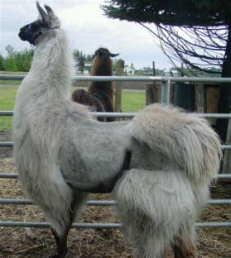 Shaved Llama Meme - best 25 shaved llama ideas on pinterest