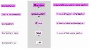 Levels Of Organization Within Organisms  Multicellular