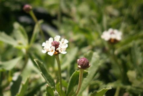 Frog Fruit Verbena May Plant Of The Month Garden Center
