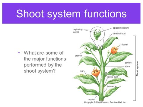 Plant Anatomy Systems And Tissues  Ppt Video Online Download. Companies That Do Resumes. Resume Coursework. Skills Set For Resume. Restaurant Manager Resume Description. Lunch Lady Resume. Buzz Words For Resume. Journalism Resumes. Accomplishment Resume