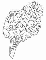 Coloring Vegetables Spinach Drawing Leafy Draw Clipart Easy Vegetable Step Template Leaf Printable Steps Library Chard sketch template