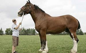 Poe the Clydesdale: The world's tallest horse - Telegraph