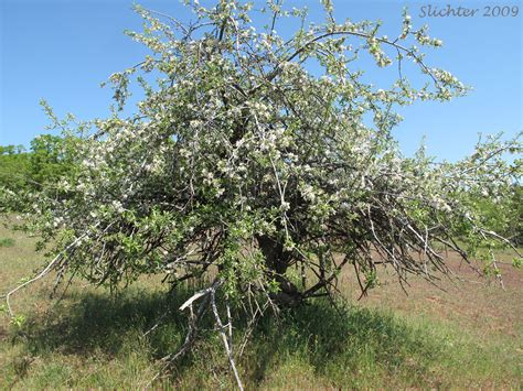 Apple, Cultivated Apple, Domestic Apple: Malus xdomestica ...
