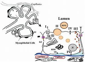 Diagram Of Mammary Alveolus And Alveolar Epithelial Cell