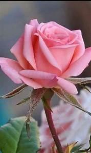 Langage Des Fleurs Pivoine : flowers pinterest fleur rose rosier and rose ~ Melissatoandfro.com Idées de Décoration