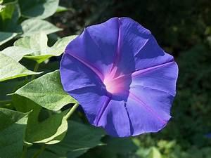 convolvulus morning glory blue flower - convolvulus
