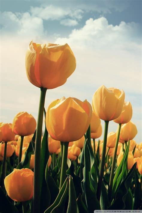 field  yellow tulips  hd desktop wallpaper
