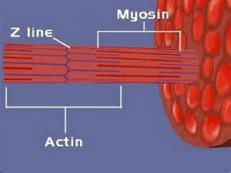 Muscular System, Sliding Filament Theory (1)  Youtube. Self Storage Palm Springs Animal Care Courses. Solar Companies In Bay Area Buy Homes Austin. College Biology Project Ideas. Accounting Software For Bookkeepers. Nurse Practitioner Work Hours. Crawl Space Dehumidifier Installation. How To Sell Clothing On Ebay Wayne Vo Tech. Low Rate Debt Consolidation Signs And Banner