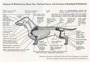 Dachshund Conformation  With Images
