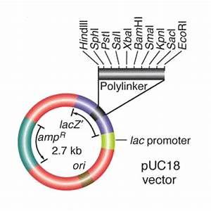 Plasmid Puc18