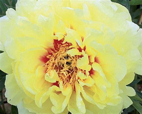 Kalsnava puķmīļus aicina uz ziedošo peoniju svētkiem   Praktiski.lv