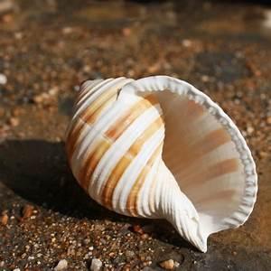 Banded Tun Shell Shells Seashells Beach shells