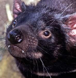 Tasmanian Devil Cancer Culprit Revealed | WIRED