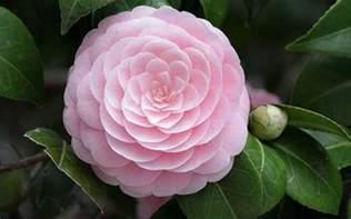 peonies flower tudo sobre flor élia cores fotos informações imagens