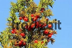 Giftpflanze Mit Stacheliger Frucht : rote essbare beeren der giftigen eibe taxus baccata runterladen ~ Eleganceandgraceweddings.com Haus und Dekorationen