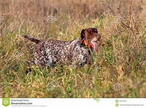 Hunting German Shorthaired Pointer Royalty Free Stock ...