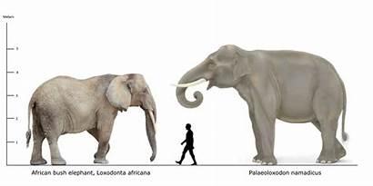 Elephant Human African Palaeoloxodon Namadicus Bush Comparison