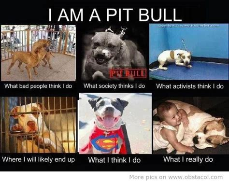Pitbull Puppy Meme - pit bull haters exposed pit bull haters cognitive dissonance