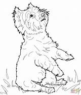 Coloring Terrier Pages Dog West Highland Yorkie Printable Manatee Yorkshire Jack Drawing Dogs Westie Russell Supercoloring Crafts Adult Puppy Cute sketch template