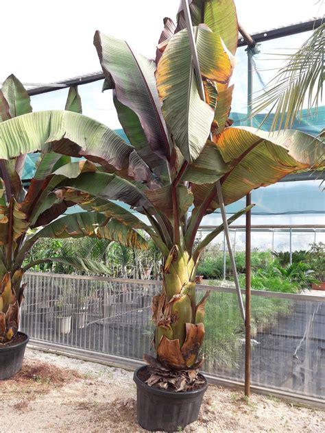 alberi da frutto in vaso musa esente murelli pianta ornamentale musa esente murelli
