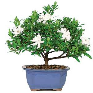 uttermost definition gardenia care 28 images gardenia plant care of images