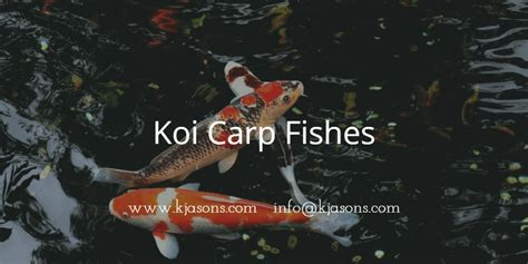 koi fishes  sale japanese koi fish ernakulam