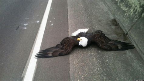 bald eagle rescued after being hit by car on interstate 84