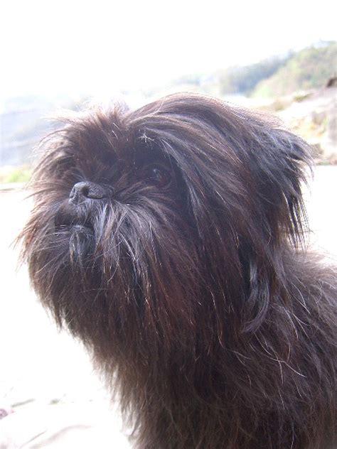 Affenpinscher Dog Breed Information Puppies Pictures