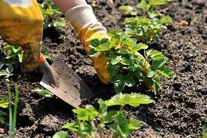 Erdbeeren Pflanzen Die Wichtigsten Tipps : erdbeeren pflanzen wann ist die beste zeit ~ Lizthompson.info Haus und Dekorationen