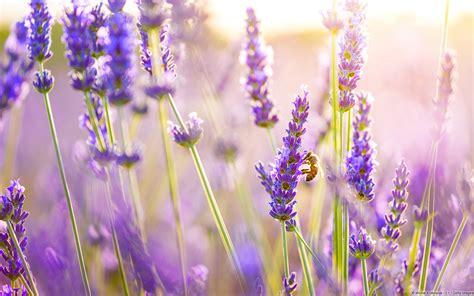 lavender aesthetic desktop wallpaper
