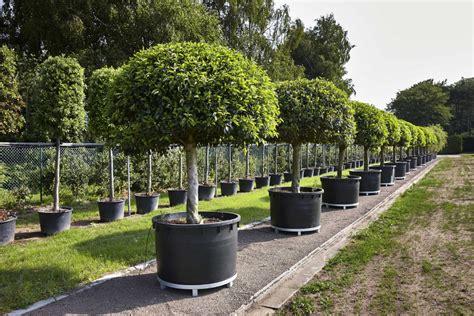 arrosage du laurier en pot lauretum lauretum jabbeke laurierboomkwekerij laurier kwekerij laurica plantes resistant